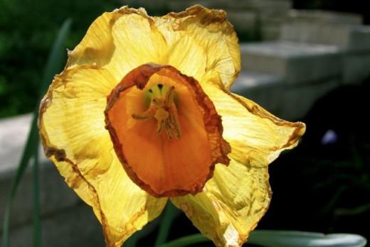 Old daffodil, Melbourne, Australia.