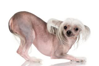 Hairless dogs, such as the Chinese Crested, often produce less dander than other breeds and may work well for an owner with allergies.