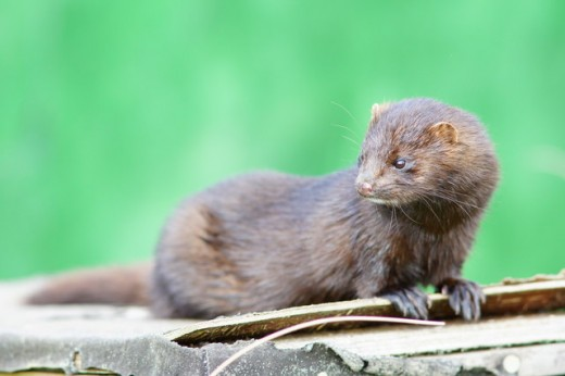 American Mink in the UK