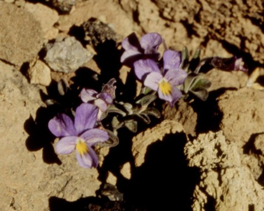 Viola cheiranthifolia, on Pico del Teide/Tenerife 1994, Sebastian Fischer, scan of an own diapositive