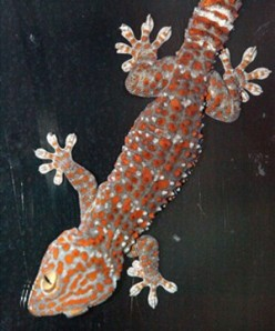 Tokay Getaway: A Pet Lesson Learned