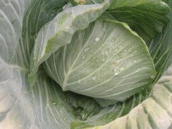 Cabbage and its Health Benefits