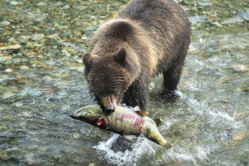 Alaskan Coastal Brown bear (Ursus arctos) with a live Salmon in his mouth at a creek near Hyder, Alaska.