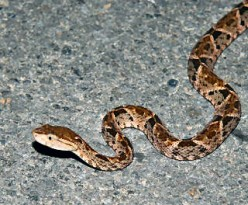 Bothrops asper - The Lance Head Viper. The Ultimate Pit Viper, An Exceedingly Venomous Snake