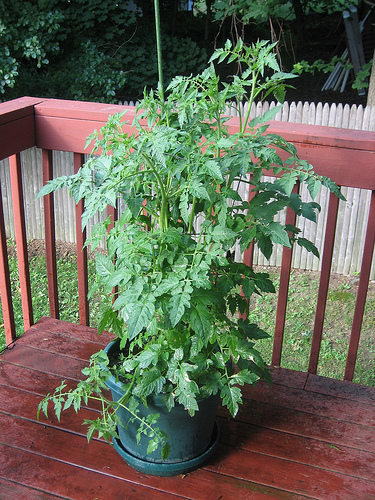 A well grown tomato plant in a container - It's bushy and green!