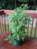 How to plant a tomato plant in your garden or a container