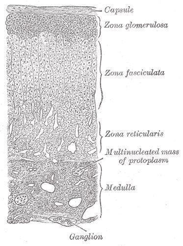 Adrenal Gland Layers  -  Gray's Anatomy, 1918.