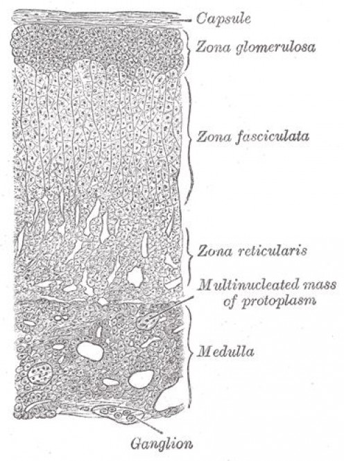 Adrenal Gland Layers  -  Gray's Anatomy, 1918.