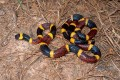 The Coral Snake - The Most Deadly Snake In The United States.
