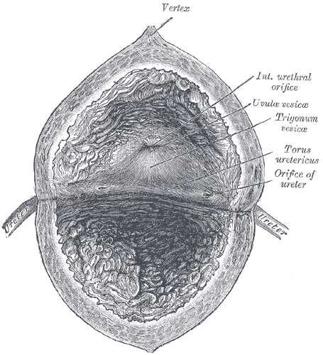 Interior view of the urinary bladder - Gray's Anatomy, 1918.