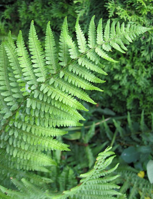 Fern growing in my garden