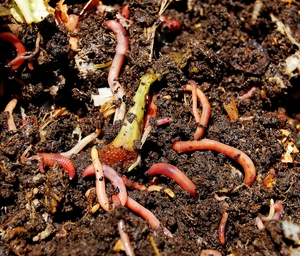 Red Wiggler Worms in kitchen scraps