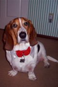 Franklin: A Loveable  But Quirky Old Basset Hound