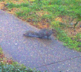 A squirrel comes up the walkway for a visit.  Perhaps he's looking for a new home?
