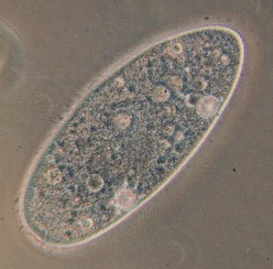 What is Paramecium?