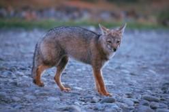 The Elusive Grey Fox, or Gray Fox