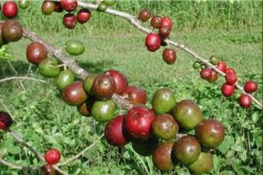 Red mombin (Siniguelas)