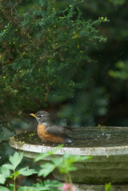 American Robin migrates only short distances as a rule