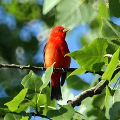 Scarlet Tanager spends its winters in South America and comes back up north to breed