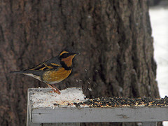 Varied Thrush migrates from east to west and back again.