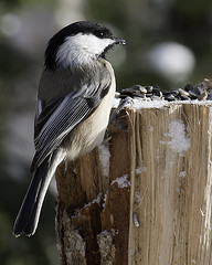 Black Capped chickadee dining on sunflower seeds.