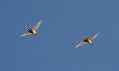 Pair of Canada Geese navigating by the sun