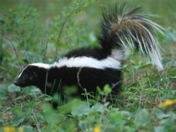 Daddy and the Skunk