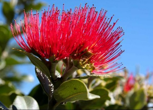 The Pohutukawa flower, New Zealand's Native Christmas Tree