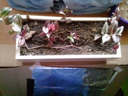A few more cuttings will help fill out this window sill planter box.