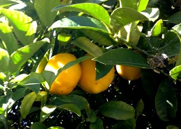 Citrus is a very flavorsome and useful fruit