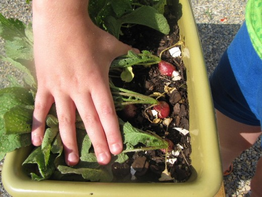 Because they grow so rapidly, radishes are one of the best kid-friendly crops.