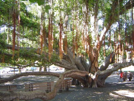 Famous Banyan Tree in Lahaina