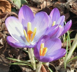 The humble crocus  awakens in the springtime bursting through the snow