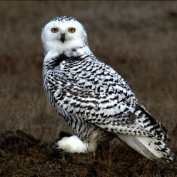 Have you seen a Snowy Owl and if so where?