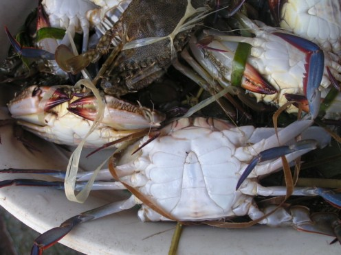 Crabs on a plate - Crabs are a whole lot safer with one less foodie