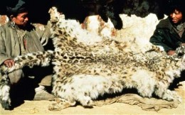 Snow leopards are highly valued for their thick and attractive coats. Many poachers who hunt snow leopards are poor and may only sell the fur for 200 dollars at least.