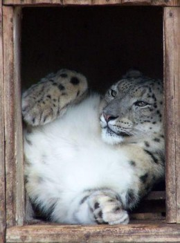 Snow leopard in a zoo...