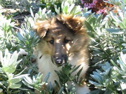 Shetland Sheepdog - Male