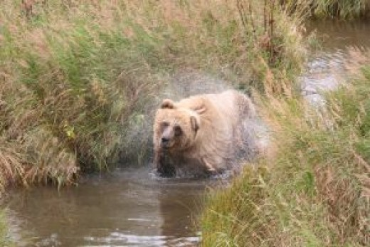 Bear watching in Alaska is at its best during the peak summer months.