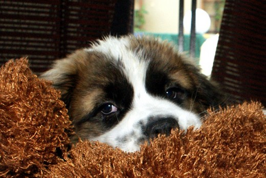 This St. Bernard puppy has had a long hard day!