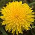 Health and Healing Benefits of Dandelion Root