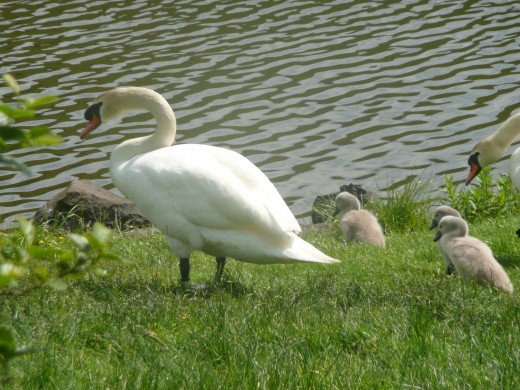A family of Holyrood park's many swans