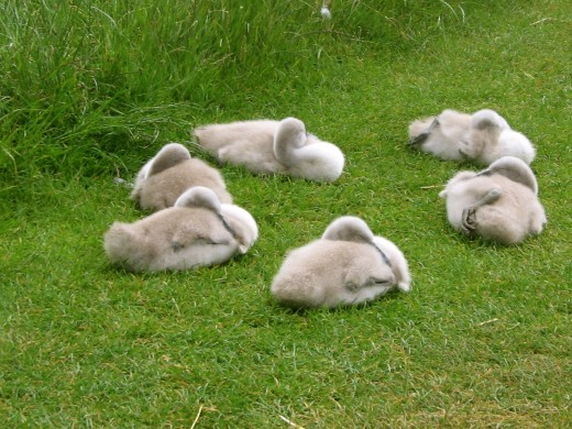 Cygnets at rest, all alone and deep in the countryside…