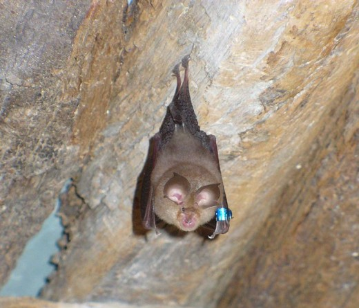 A Rhinolophus hipposideros microbat in France, just hanging around the cave doing rhinolophusy hipposiderosy things.