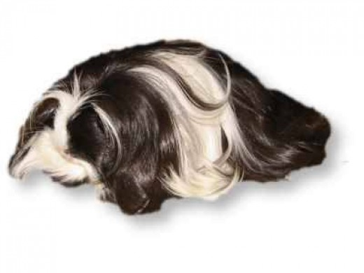 This looks like the guinea pig I had in college.
