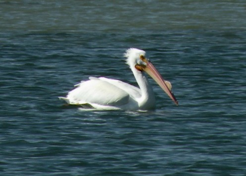 Wherever you are, you can participate in the bird count. This white pelican was photographed on the Salton Sea, California