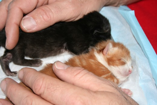 March 15, 2011.  Brother and sister Alex & Chelsey.  5 to 10 days old.