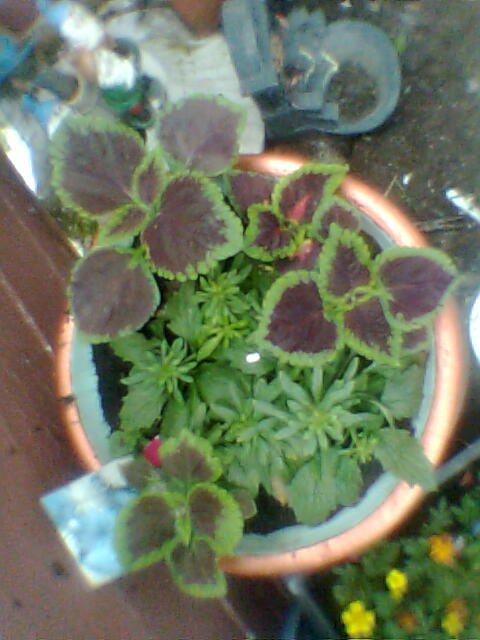 A beautiful coleus pot plant.  Photo Copyright Nell Rose