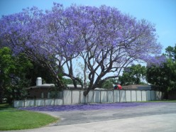 It's Jacaranda Time!  A Matisse In My Yard!