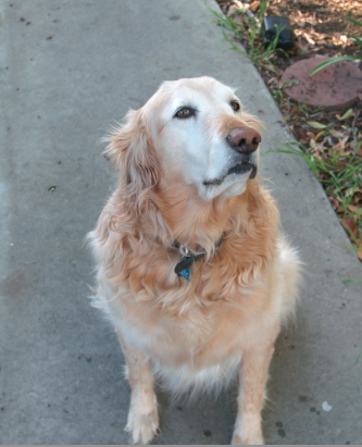 As Goldens age, their faces turn white.